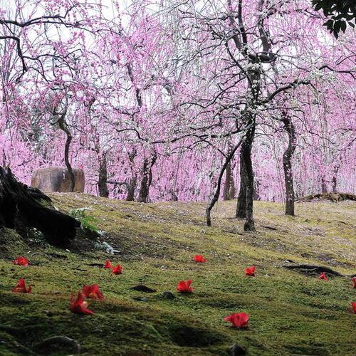 インスタ映えする梅園、京都・城南宮、神苑・春の山