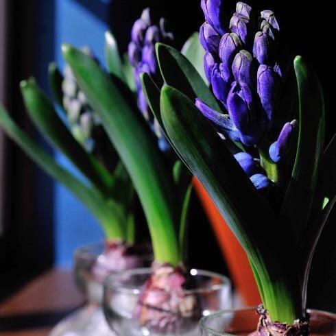 早春の楽しみ、水耕栽培で育てるヒヤシンスの魅力