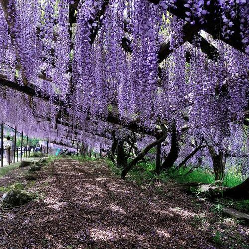 フジの名所、滋賀県・正法寺と日野ダリア園