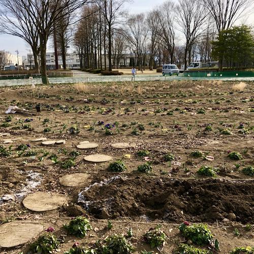 秋植えの宿根草が安曇野で