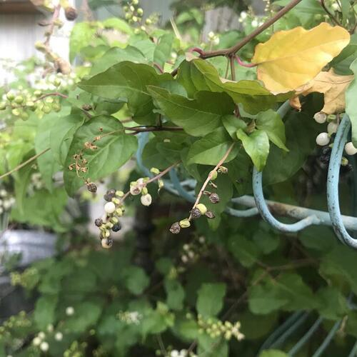 冬の寂しい小庭にビオラを咲かせるために