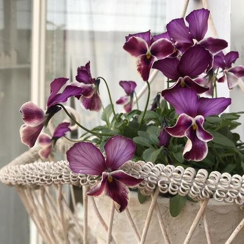 小庭に咲くビオラ達vol.2&リース型の寄せ植え